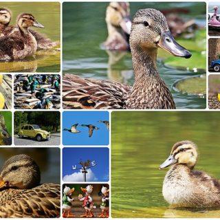duck-1532499_640_mini