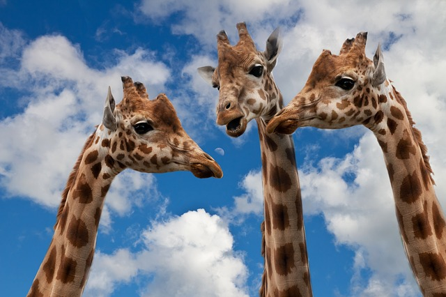 жираф группа чат