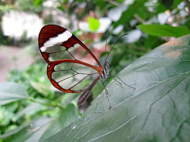 бабочка прозрачный крылья