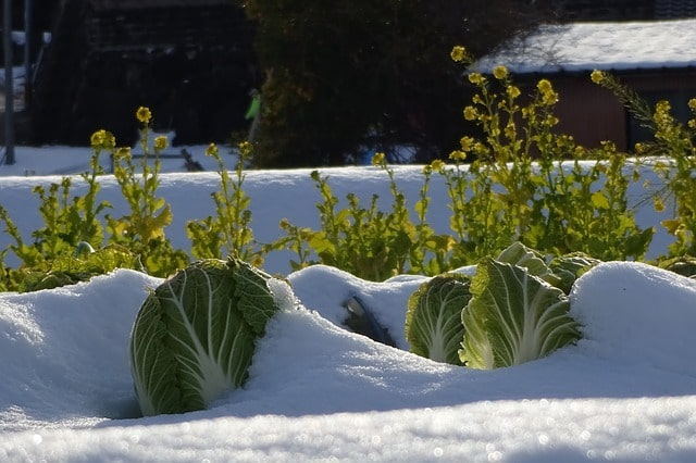 выращивание овощи зима