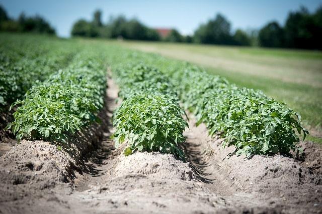 картофель урожай выращивание
