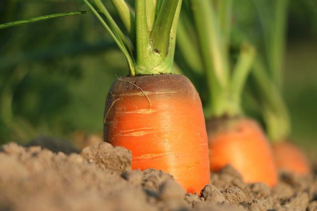 морковь грунт выращивание