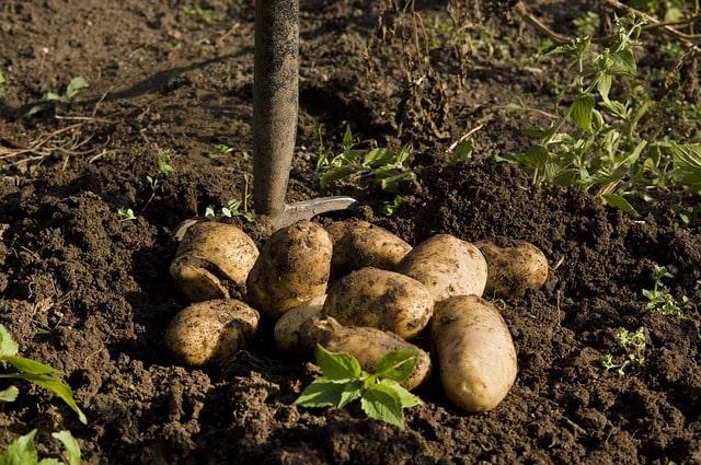 картошка урожай