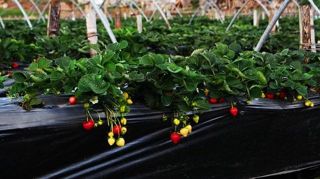 клубника выращивание