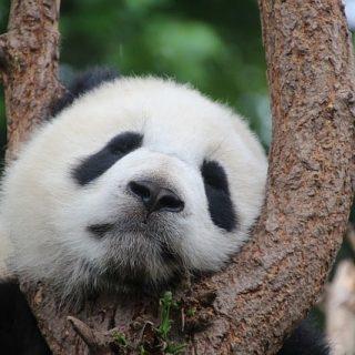 панда сон